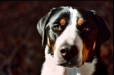Greater Swiss Mountain Dog, 2 years, Tri Color