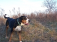 Greater Swiss Mountain Dog, 3 years, Tri Color