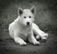 Greenland Dog, 2 years, White