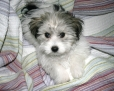 Havanese, 13 weeks, white, black, beige