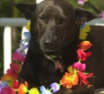 Hawaiian Poi Dog, 1.5 years, Black