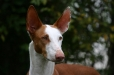 Ibizan Hound, 1 year, Brown