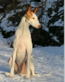 Ibizan Hound, 2 years, White