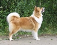 Icelandic Sheepdog, 1 year, Brown