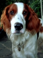 Irish Red and White Setter, 1 year, Red and White