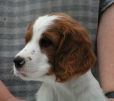 Irish Red and White Setter, 4 months, Red and White