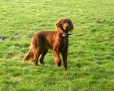 Irish Setter, 2 years, Red