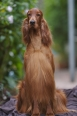 Irish Setter, 3, red
