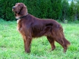 Irish Setter, 4 years, Red