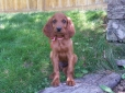 Irish Setter, 9 weeks, manhogany
