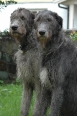 Irish Wolfhound, 1 year, Gray