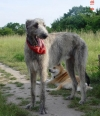 Irish Wolfhound, 1.5 years, Gray