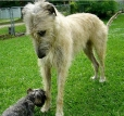 Irish Wolfhound, 11 months, Gray