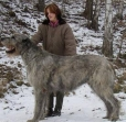 Irish Wolfhound, 2 years, Gray