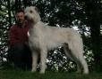 Irish Wolfhound, 2 years, White