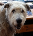 Irish Wolfhound, 3 years, Gray