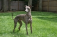 Italian Greyhound, 1.5 years, Gray