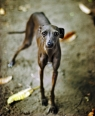 Italian Greyhound, 9 months, Brown