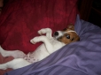 Jack Russell Terrier, 1 year old, white, brown black markings