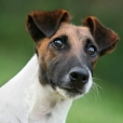 Jack Russell Terrier, 1 year, Brown and White