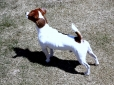 Jack Russell Terrier, 4 years old, Tri-Color
