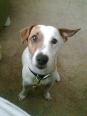 Jack Russell Terrier, 4, white and brown
