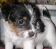 Jack Russell Terrier, 6 weeks, Tri-Color