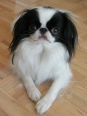 Japanese Spaniel, 2 years, Black and White