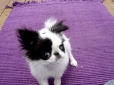 Japanese Spaniel, 4 months, black and white