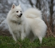 Japanese Spitz, 1 year, White