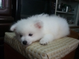Japanese Spitz, 2 months old, white