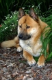 Jindo, 1 year, Red