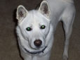 Jindo, 1 year, White