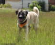 Kangal, 1 year, Yellow