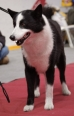 Karelian Bear Dog, 1 year, Black and White