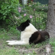 Karelian Bear Dog, 2 years, Black and White