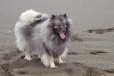 Keeshond, 1.5 years, Gray