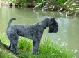 Kerry Blue Terrier, 1 year, Black