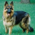 King Shepherd, 2 years, Brown