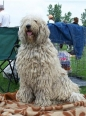Komondor, 1.5 years, White