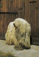 Komondor, 2 years, White