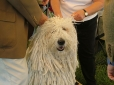 Komondor, 3 years, White
