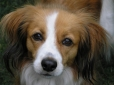 Kooikerhondje, 1 year, Brown and White