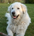Kuvasz, 3 years, White