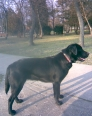 Labrador Retriever, 12 mounts, black