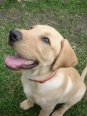 Labrador Retriever, 4 months, yellow