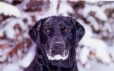 Labrador Retriever, 4, Black