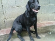 Labrador Retriever, 8 months, black