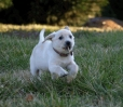 Labrador Retriever, 8 weeks, Yellow