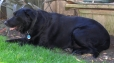 Labrador Retriever, 8, Black